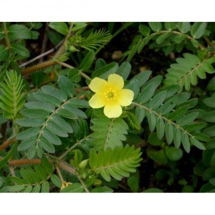 Kotvičník zemní (Tribulus terrestris) semena kotvičníku - 7 ks