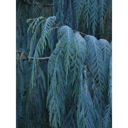 Cypřiš kašmírský (Cupressus cashmeriana) – semena cypřiše - 10 ks