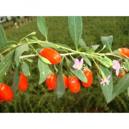 Kustovnice čínská - Goji (Lycium chinense) semena - 15 ks