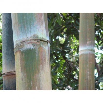 Železný bambus (Dendrocalamus strictus) semena bambusu - 10 ks