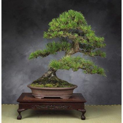 Borovice černá japonská (Pinus thunbergii) - semena borovice - 5 ks