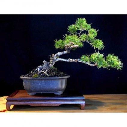 Borovice kleč (Pinus mugo Montana) semena kleče - 7 ks