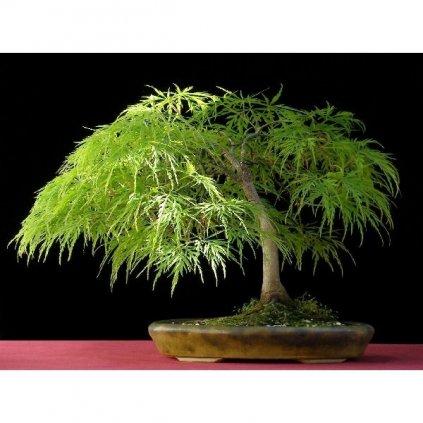 Javor dlanitolistý zpeřený (Acer palmatum dissectum) semena javoru - 3 ks