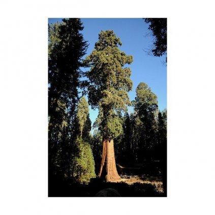 Sekvoj vždyzelená (Sequoia sempervirens) semena sekvoje - 7 ks