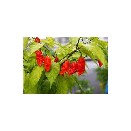 Bhut Jolokia, extrémně pálivé chilli papričky - semena čili papriček - 10 ks