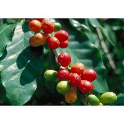 Kávovník arabský zakrslý (Coffea arabica nana) čerstvá semena kávovníku - 5 ks