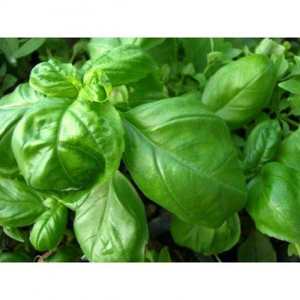 Bazalka pravá velkolistá - Lettuce Leaf - semena bazalky 0,5 g, 450 ks