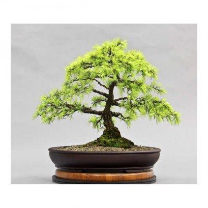 Cedr himalájský (Cedrus deodara) semena cedru - 5 ks