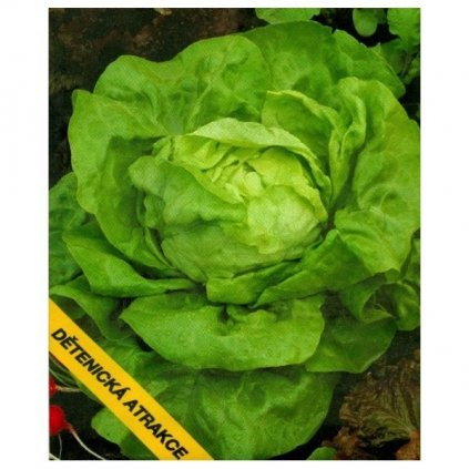 Salát hlávkový letní Dětenická atrakce - semena salátu 0,5 g, 400 ks