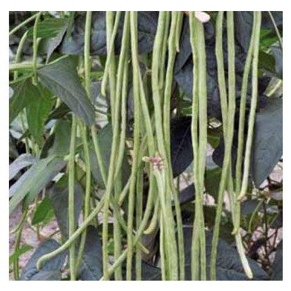 Vigna čínská - špagetová fazol - semena vigny 5 g
