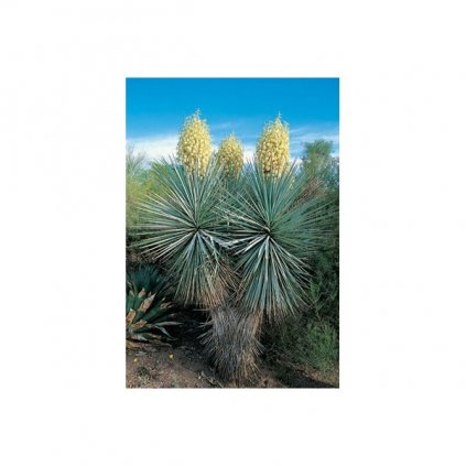 Juka rigida - mrazuvzdorná (Yucca rigida) semena juky - 10 ks
