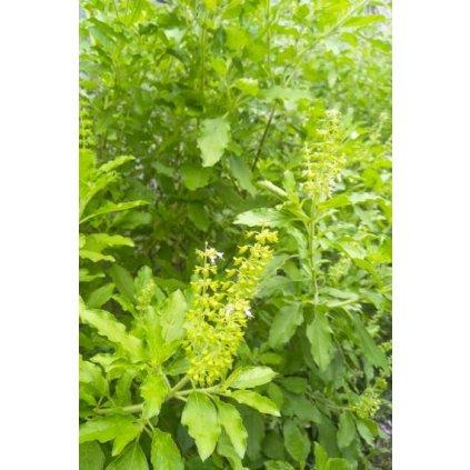 Bazalka posvátná Tulsi (Ocimum sanctum) - semena bazalky 1 g