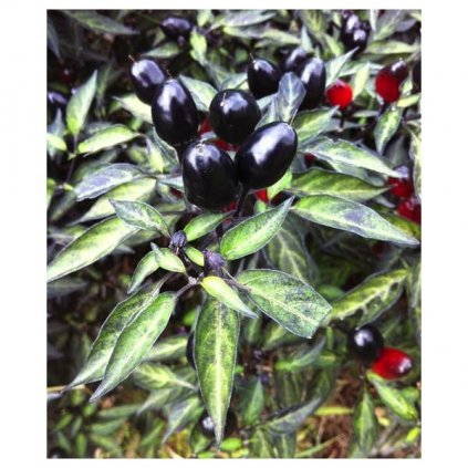 Black Olive - černé okrasné chilli papričky - BIO semena chilli papriček - 5 ks