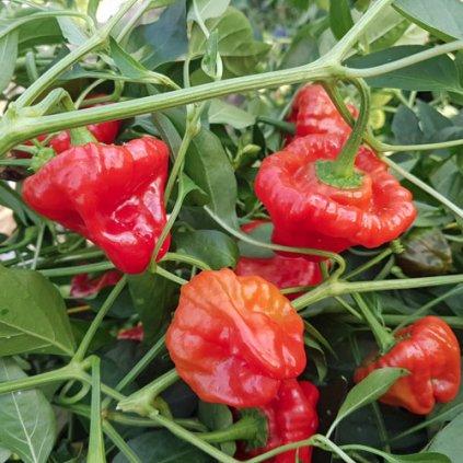 Jamaican Hot Red, červené extrémně pálivé chilli papričky - semena papriček - 10 ks
