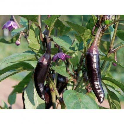 Jalapeno Purple - fialové chilli papričky - semena chilli papriček - 10 ks