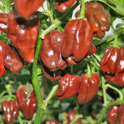 Habanero Chocolate čokoládové, extrémně pálivé chilli papričky - semena papriček - 5 ks