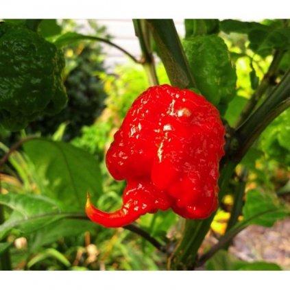 Carolina Reaper, extrémně pálivé chilli papričky - semena čili papriček - 5 ks