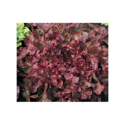 Salát listový červenolistý Redin - semena salátu 0,4 g, 320 ks