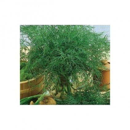 Kopr vonný Moravan - Anethum graveolens - semena kopru, 4 g, 2000 ks