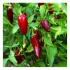 Jalapeno TAM - červené chilli papričky - semena mírně pálivých chilli papriček - 10 ks