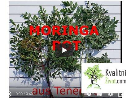 BIO Moringa z TENERIFE 120 kapslí VÝBĚR z červené