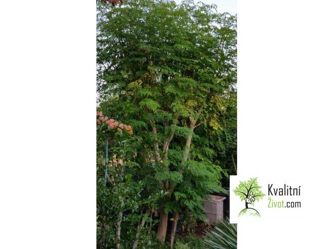 BIO MORINGA z Tenerife MiniFinca DELUX partnerství  Moringoveé stromy na Tenerife