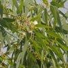 Eucalyptus citronné 150x150
