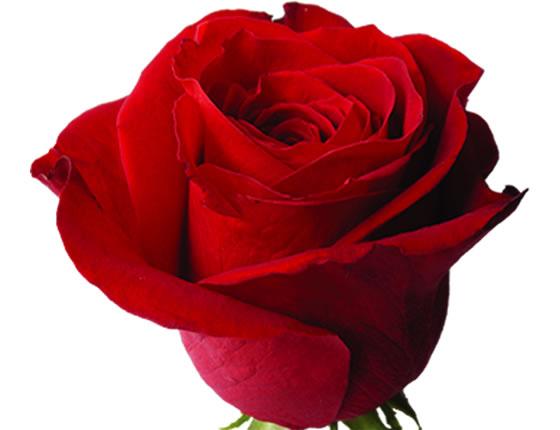 Ekvádorské růže - Premium