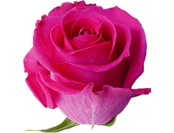 Holandské růže