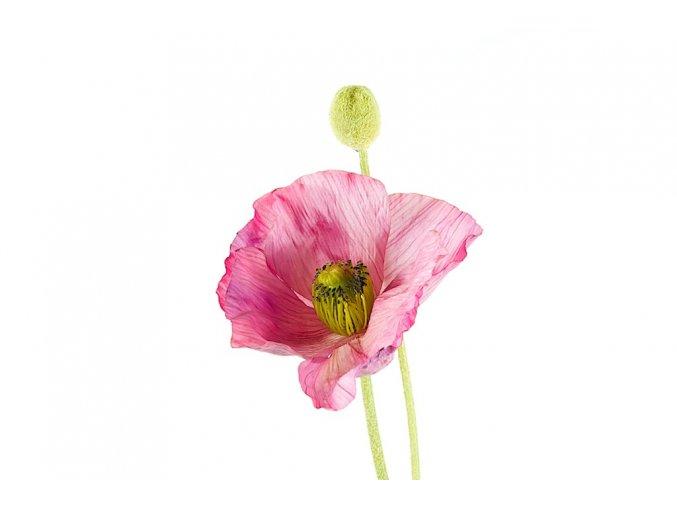 Poppy iceland wbud -pink