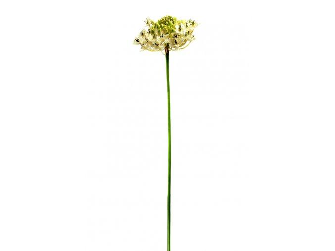 Ornithogalum - snědek - bílý