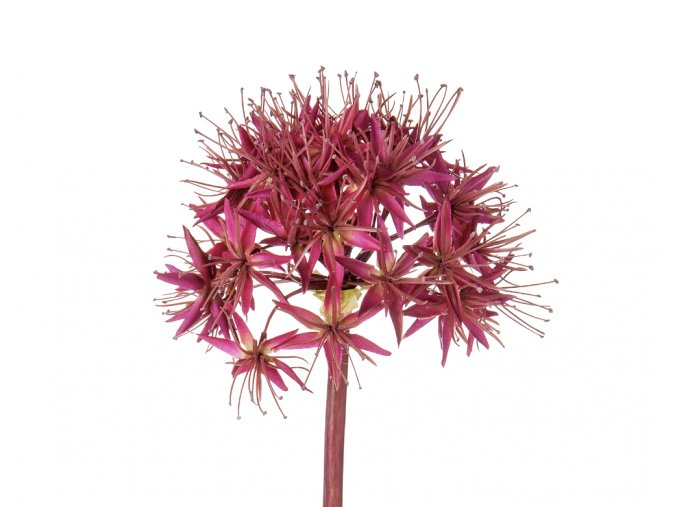 Small Allium Steam