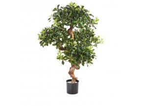 20291 pittosporum 120 001