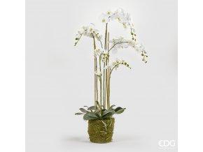 Bílá Orchidej s mechem a kořeny EDG H132