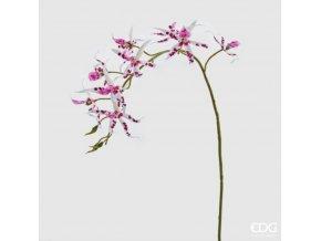 Orchidej Brassia EDG H108