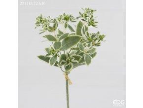 Euphorbia - Pryšec EDG H40