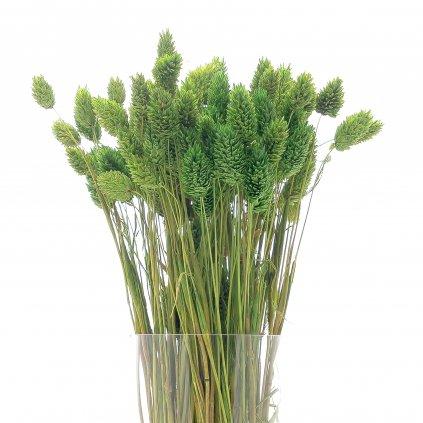 Sušený zelený Phalaris
