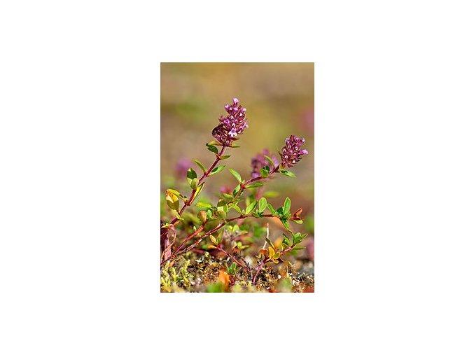 Mateřídouška vejčitá, pravá, nať slisovaná, sušená  Mateřídouška, nať s listy a květy, herba serpelli, léčivka, bylinka