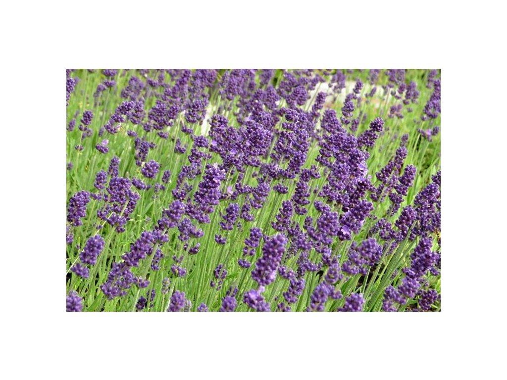 383 lavandula angustifolia aromatico early blue 01