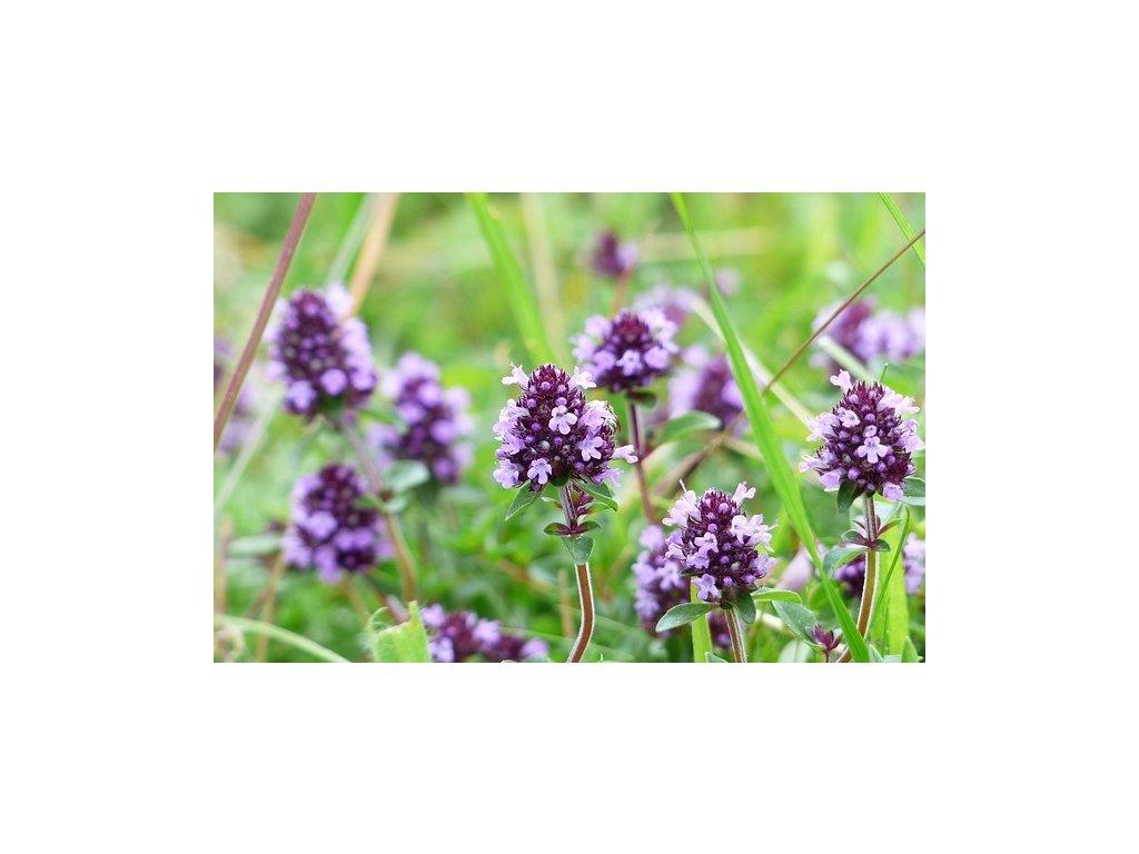 thymus vulgaris 4