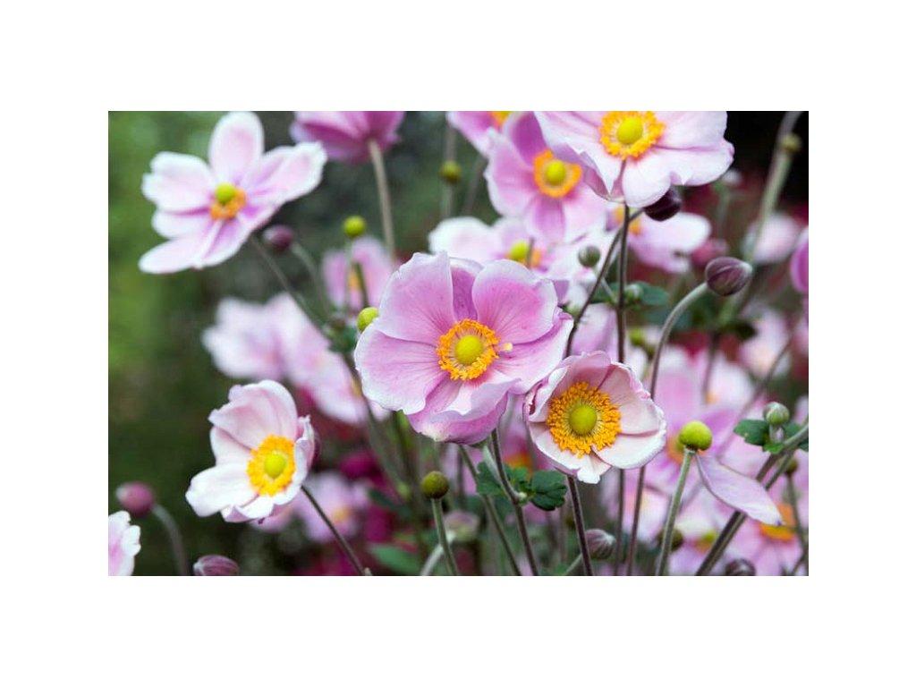 Anemone Pink Saucer 1