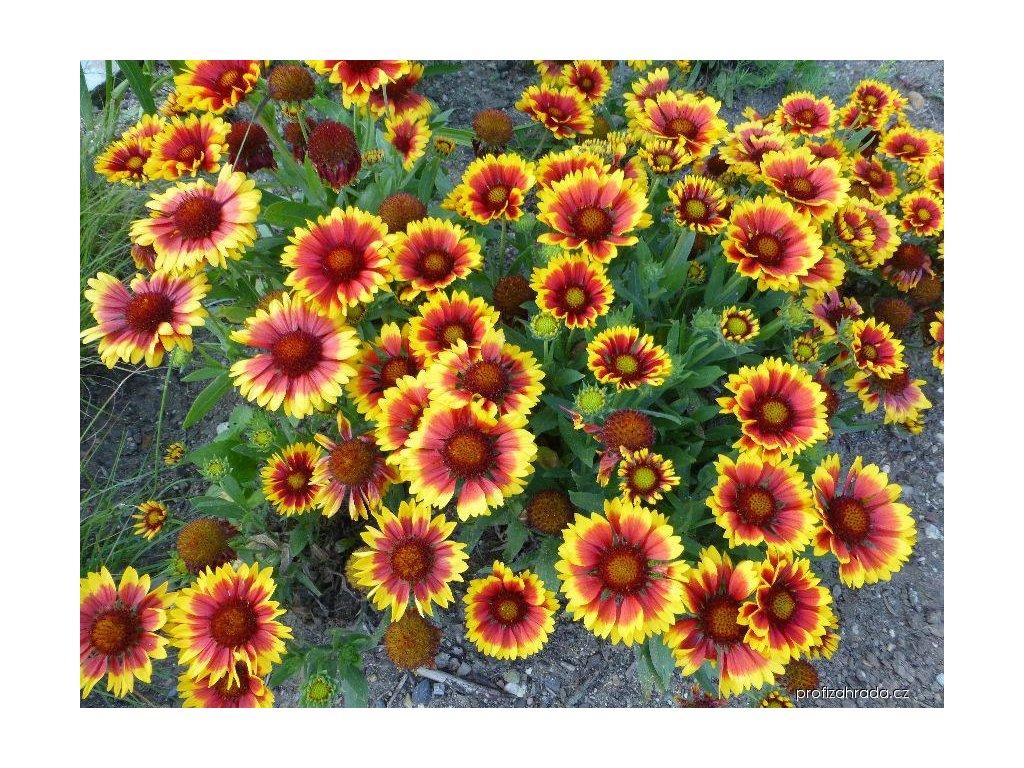 Gaillardia Arizona Sun 2