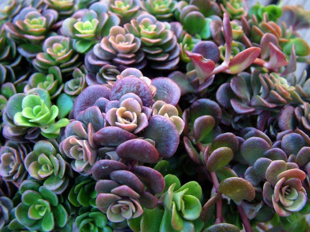 Sedum Coral reff 2