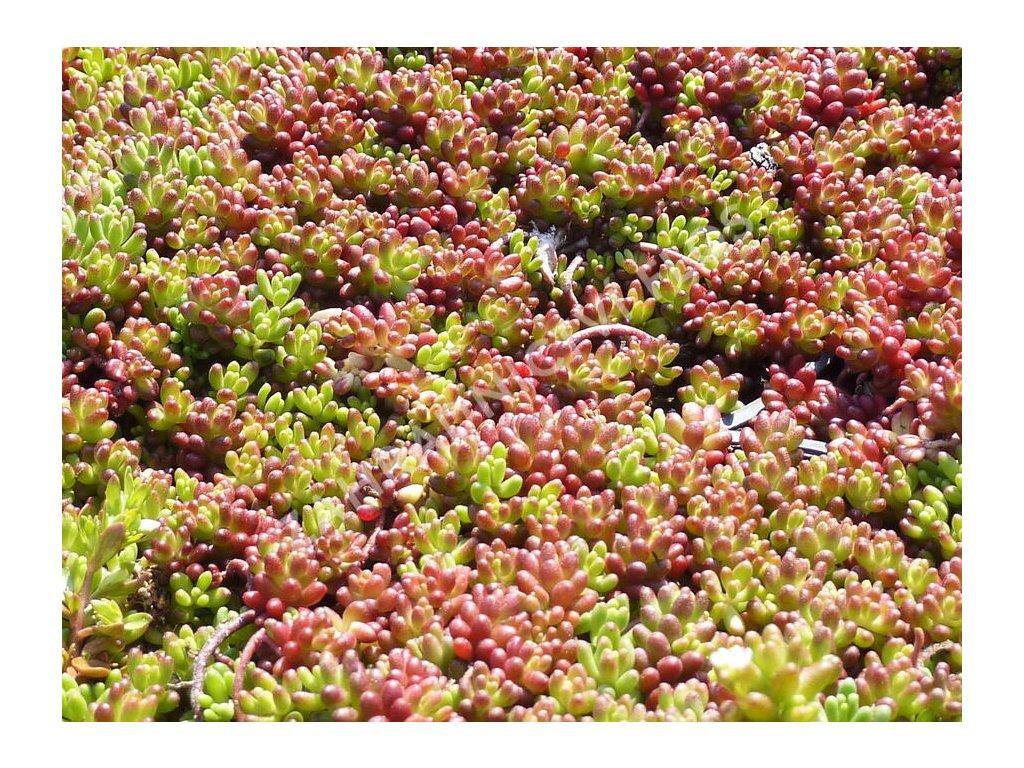 Sedum Coral Carpet 1