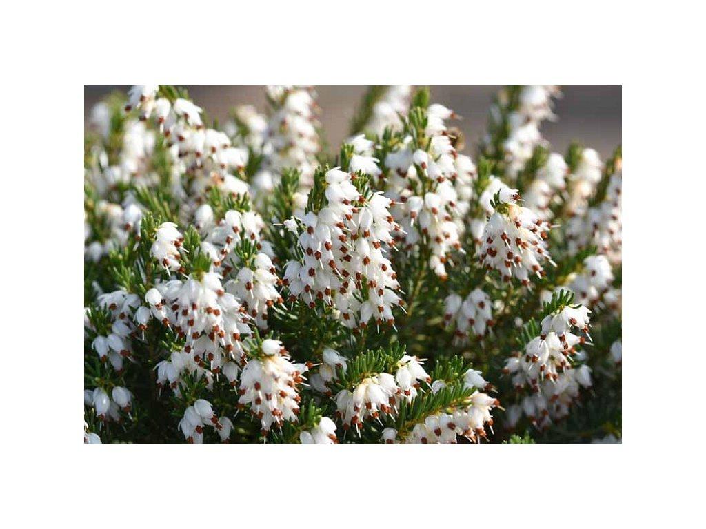 erica x darlyensis white1