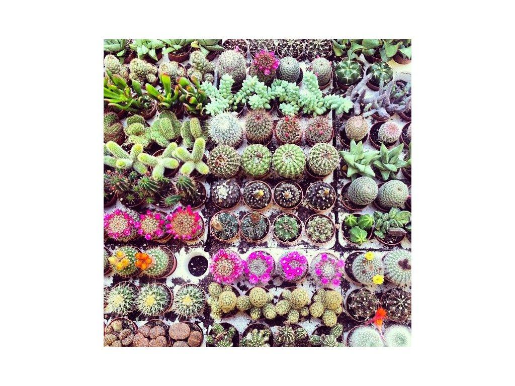 kaktusy mix4