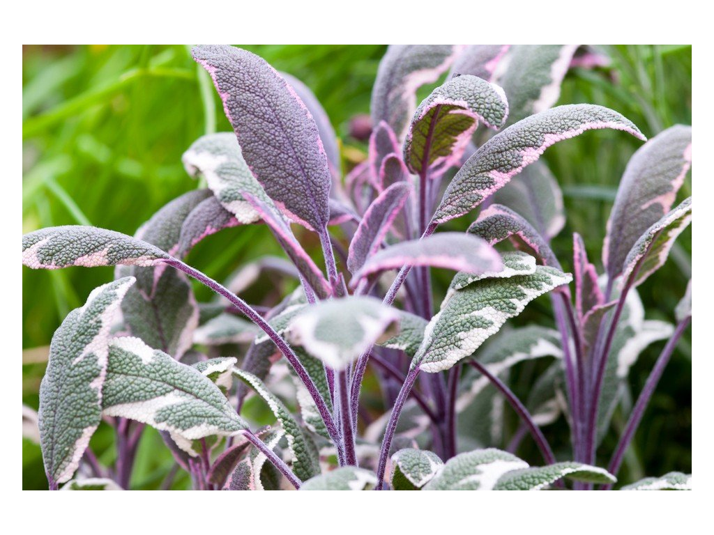 Salvia tricolor 3