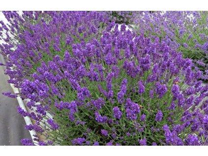 LavandulaangustifoliaAromaticoBlue Compact05aaa