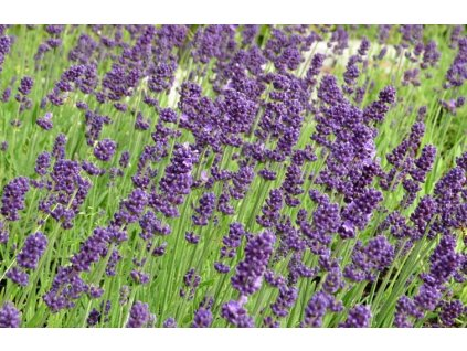 383 lavandula angustifolia aromatico early blue 01