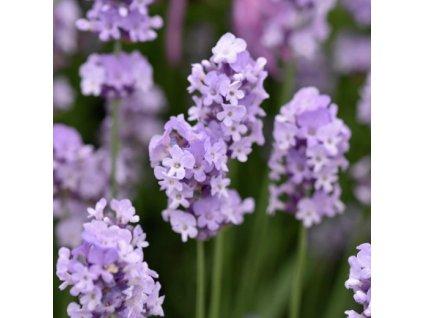 melisa lilac 1